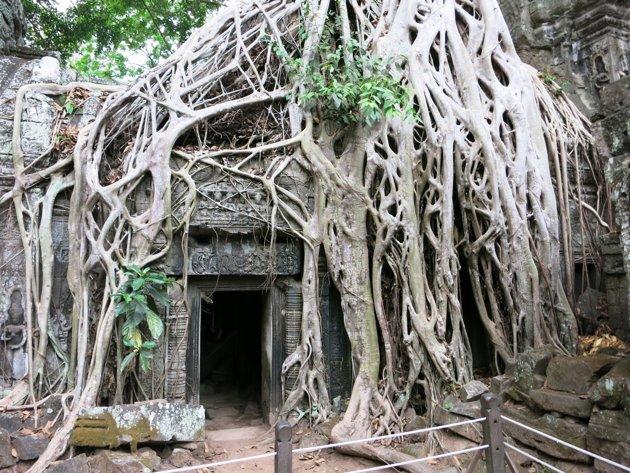 Ta-Phrom-reruntuhan-kuil-sudah-seperti-menyatu-dengan-hutan